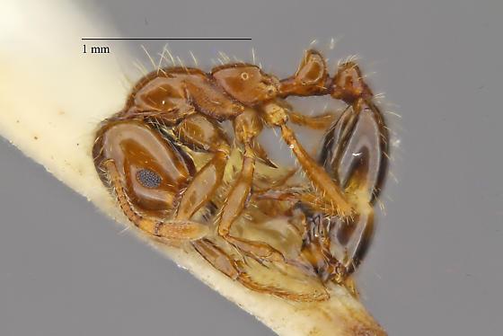 Solenopsis sp. - Solenopsis