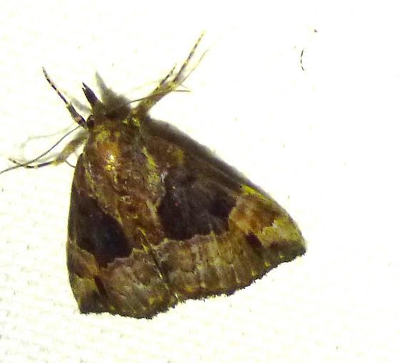 Hypena palparia - Mottled Hypena  - Hypena palparia