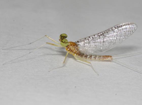 Heptageniidae: Leucrocuta hebe - Leucrocuta hebe - male