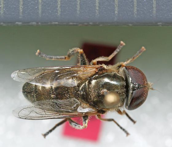 Syrphidae - Eristalinus aeneus - male
