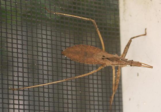 Bug sp. - Stenopoda spinulosa
