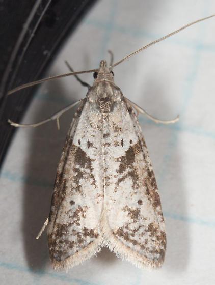 Pyralidae? - Lotisma trigonana
