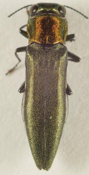 Unknown Buprestid - Agrilus smaragdifrons