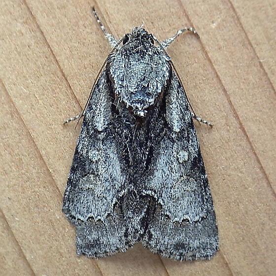 Noctuidae: Acronicta falcula - Acronicta mansueta
