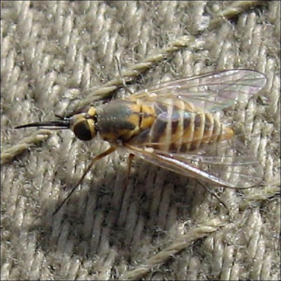 Hairless Bee Fly (Bombylidae) - Neacreotrichus - female