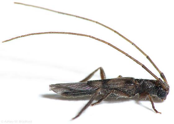 Tiny Longhorn - Methia necydalea