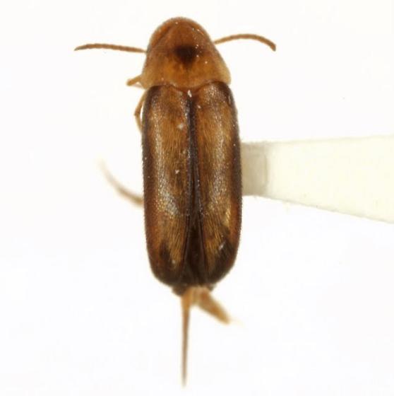 Mordellistena limbalis (Melsheimer) - Mordellistena limbalis