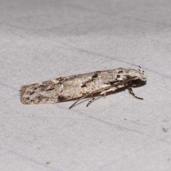 ID Request - 1851 – Arogalea cristifasciella – Stripe-backed Moth? - Arogalea cristifasciella