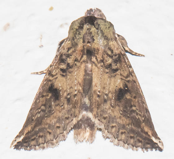 2018-11-03 Brown-shaded prominent