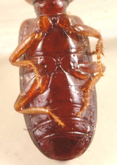 Ground beetle - Clivina pallida