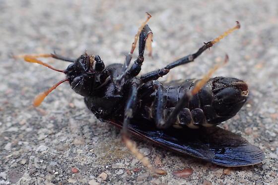 Large, Black-Winged Wasp? - Cimbex americanus
