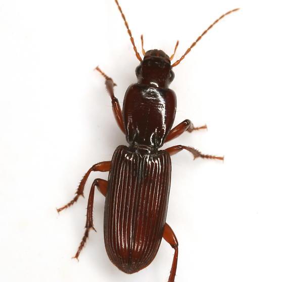 Stenomorphus californicus (Ménétries) - Stenomorphus californicus