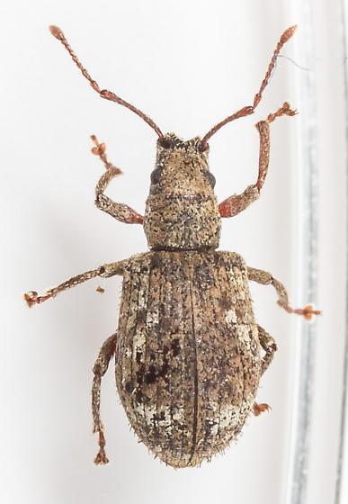 Weevil - Pseudoedophrys hilleri