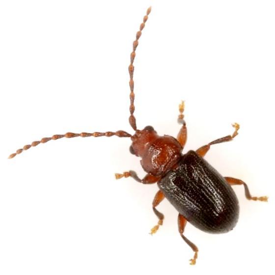 Orthaltica copalina (Fabricius) - Aulacothorax copalina - male