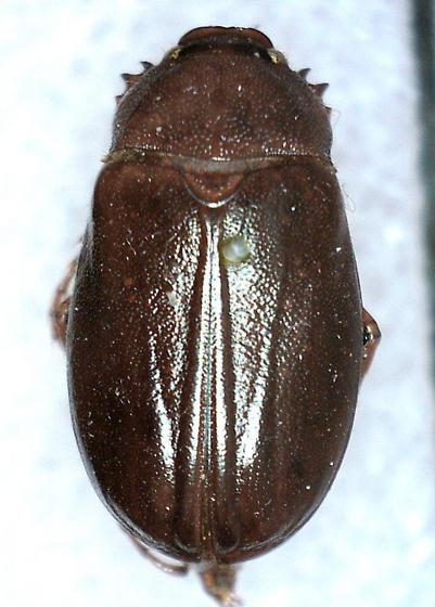 Phyllophaga calceata