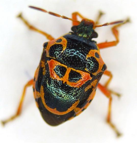 Predatory Stink Bug - Stiretrus anchorago