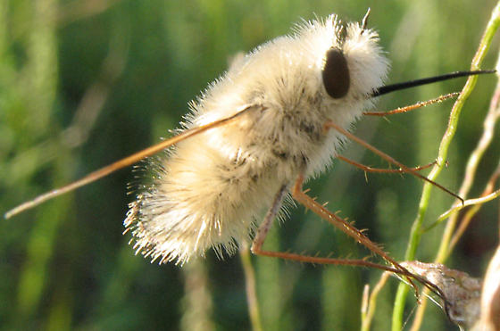 Bee fly - Anastoechus barbatus