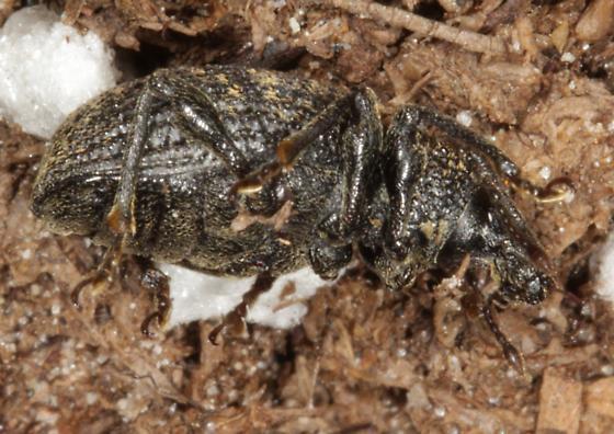 Brown with orange spots weevil? - Otiorhynchus