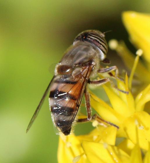 D. Syrphidae Eristalinus taeniops - Eristalinus taeniops