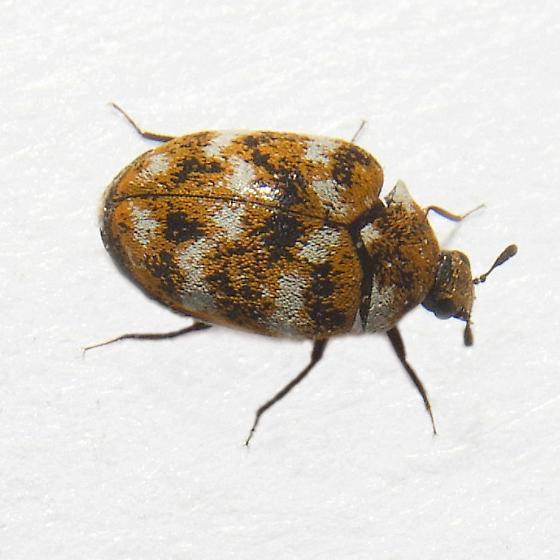 Tiny orange brown beetle - Anthrenus verbasci