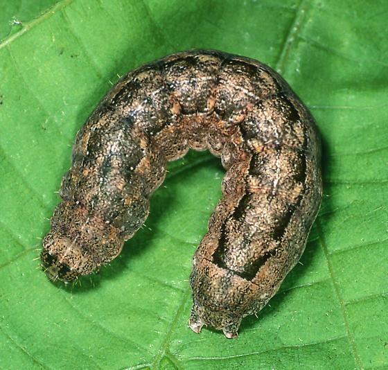 Abagrotis anchoselioides - Abagrotis anchocelioides