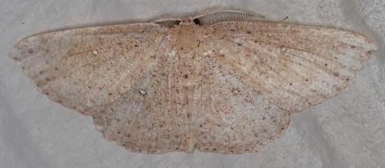 Cyclophora myrtaria - Waxmyrtle Wave Moth - Cyclophora myrtaria