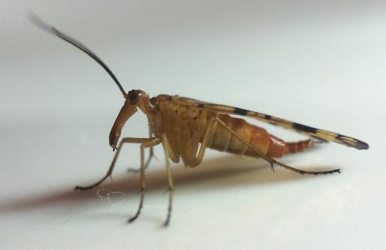 Panorpa - Panorpa confusa - female