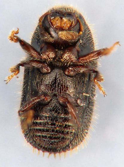 tiny Scolytinae - Phloeotribus liminaris