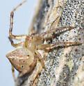small, early spring orbweaver - Araneus miniatus