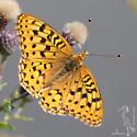 Nokomis Fritillary M - Speyeria - male