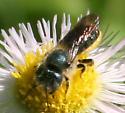 Bee ID Request - Osmia georgica - female