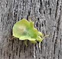 tiny green unknown - Phymata