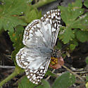 Tropical Checkered-Skipper - Pyrgus oileus - male