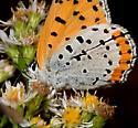 Species Lycaena hyllus - Bronze Copper - Lycaena hyllus