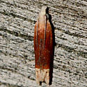 Reddish Eucosma - Eucosma raracana