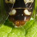 Syrphid Fly - Sericomyia lata - male