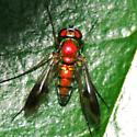 Spotted-Wing Longlegged Gold Fly - Dorsal - Condylostylus