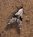 possibly, Elaphria georgei - Nigetia formosalis