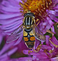 Unknown fly - Helophilus latifrons - male