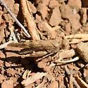 Dusty trail hopper - Trimerotropis occidentalis - male