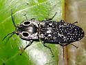Eyed Click Beetle - Alaus oculatus