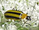 Striped beetle - Acalymma vittatum