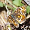 Sierra butterfly - Phyciodes orseis