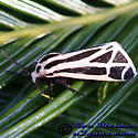 Harnessed Tiger Moth - Apantesis phalerata