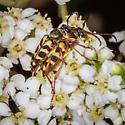 Strophiona tigrina mating - Strophiona tigrina - male - female