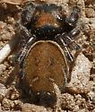 Jumping Spider - Phidippus whitmani - female