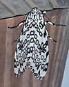 Moth - Hypercompe scribonia