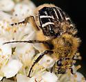 Bee? - Trichiotinus assimilis