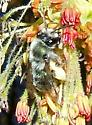 Unknown Bees on Boxelder Maple Flowers - Andrena - female