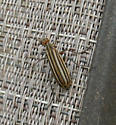Interesting little striped beetle - Epicauta occidentalis